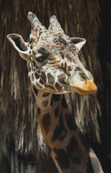 Free Giraffe Royalty Free Stock Image - 30842976