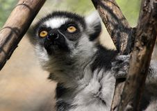 Free Lemur Royalty Free Stock Photography - 30843147