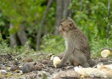 Free Crab-eating Macaque Stock Images - 30843654
