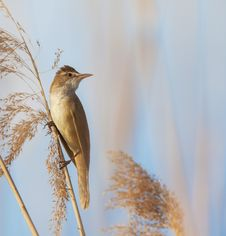 Eurasian Reed Warbler, Acrocephalus Scirpaceus, In Reed Natural Environment Stock Photos