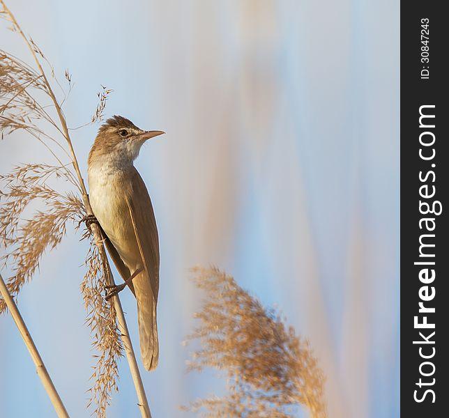 Eurasian reed warbler, Acrocephalus scirpaceus, in reed natural environment