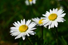 Free Daisy Flowers Stock Photography - 30850892