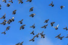 Free Doves And Pigeons In Flight Royalty Free Stock Images - 30851539