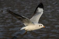 Free Brown-headed Gull Royalty Free Stock Photos - 30858118
