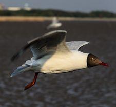 Free Brown-headed Gull Stock Photos - 30858133