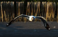 Free Brown-headed Gull Royalty Free Stock Photography - 30858147