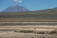 Vicuña Looking Towards The Andes Stock Photography
