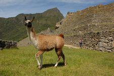 Vicuña Strolling Machu Picchu Stock Photo