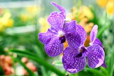 Free Orchid Royalty Free Stock Photos - 30859288