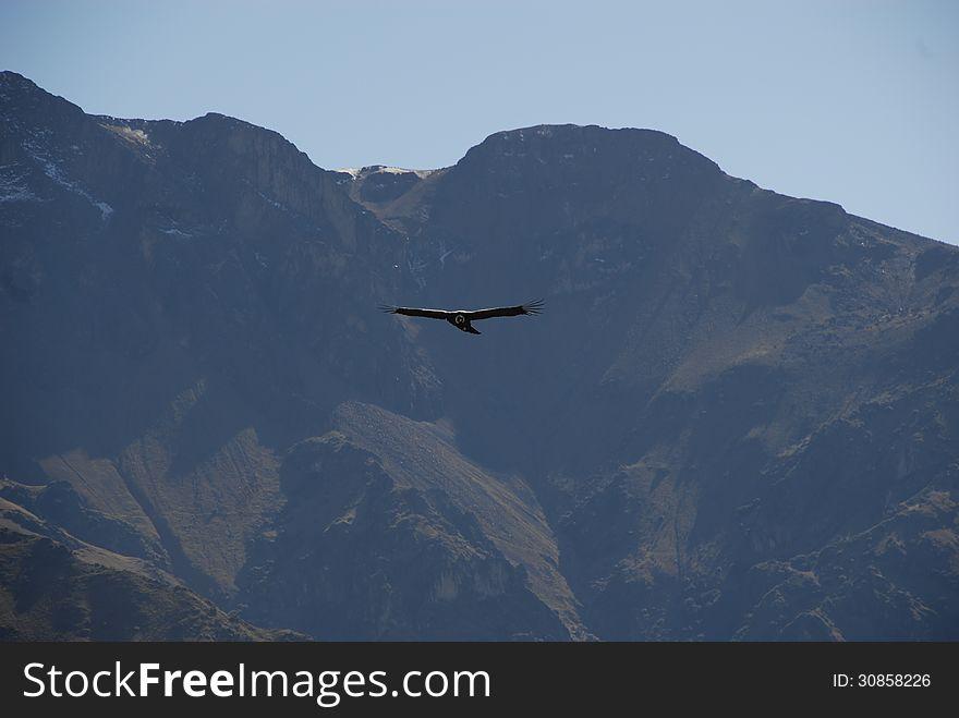 Condor in the Mountains