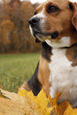 Free Siting Beagle Royalty Free Stock Photography - 30864717