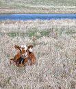 Free Calf In Springtime Stock Photo - 30867240