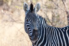 Free Burchell S Zebra Stock Photography - 30868982