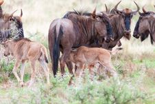 Free Blue Wildebeest And Calves Stock Images - 30869044