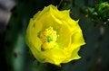 Free Yellow Cactus Flower Stock Photo - 30874790