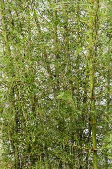 Free Bamboo Forest Royalty Free Stock Photos - 30873538