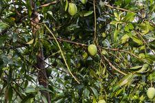 Mango Tree Royalty Free Stock Images