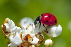 Free Ladybug On White Flowers Royalty Free Stock Photo - 30877235