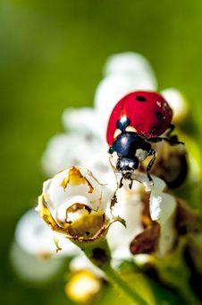 Free Ladybug On White Flowers Royalty Free Stock Images - 30877269