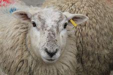 Free Farm Sheep. Royalty Free Stock Photo - 30879535
