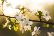 Spring Blooming Stock Photography