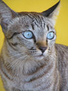 Free Thai Cat Stock Photos - 30880723