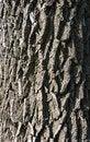 Free Fine Texture Of Tree Bark Royalty Free Stock Image - 30886276