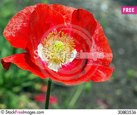 A bouquet of poppy flower free stock images photos 30883536 a bouquet of poppy flower mightylinksfo Images