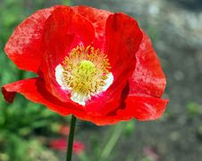 Free A Bouquet Of Poppy Flower Royalty Free Stock Image - 30883536