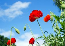 Free Colorful Of Poppy Flowers3 Stock Photography - 30884032