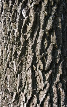 Free Fine Texture Of Tree Bark Royalty Free Stock Image - 30886276