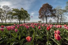 Tulip With Canadian Flag Royalty Free Stock Images