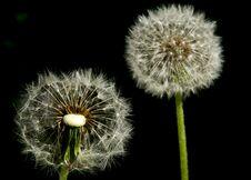 Free Dandelions Stock Image - 30890991