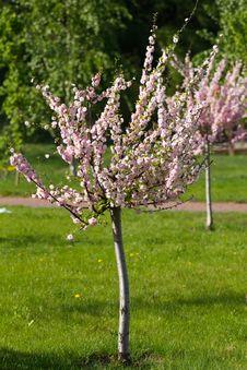 Free Sakura Tree Royalty Free Stock Photo - 30893665