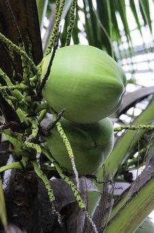 Free Coconut Stock Photos - 30895293