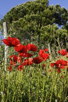 Free Poppies And Fence - Spring - Life After Tragedy Stock Images - 30895804