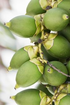 Free Betel Nut Or Are-ca Nut Palm On Tree Stock Photo - 30897330
