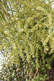 Free Betel Nut Or Are-ca Nut Palm On Tree Stock Image - 30897361