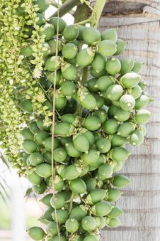 Free Betel Nut Or Are-ca Nut Palm On Tree Royalty Free Stock Photography - 30897377
