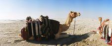 Free Camel Sitting Down Royalty Free Stock Image - 30899026