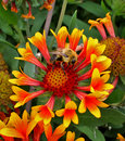 Free Star Burst Flower With Bee Stock Images - 3096894