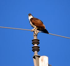 Free Osprey On A Wire Royalty Free Stock Photo - 3090025
