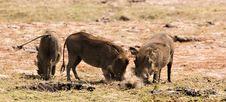 Free Warthogs Diggin  It Stock Photography - 3091452