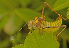 Free Grasshopper Royalty Free Stock Photos - 3091648
