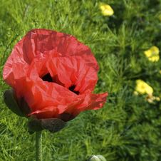 Free Poppy Blossom Stock Photos - 3091883