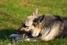 Free German Shepherd Dog Royalty Free Stock Photography - 3092227