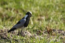 Free Plover Protecting Her Young Royalty Free Stock Photo - 3092355