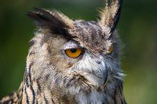 Free European Eagle Owl Royalty Free Stock Photo - 3092435