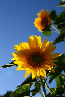 Free Sunflower Royalty Free Stock Images - 3092499