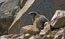 Free Marmot Royalty Free Stock Photos - 3092518